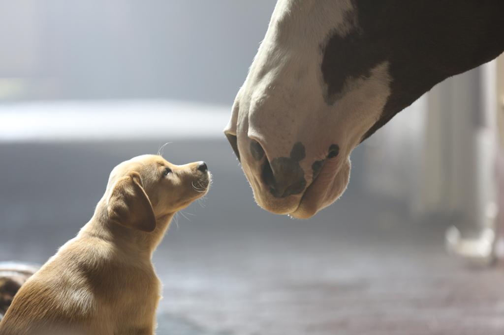 Budweiser-Puppy-Love-Image-1024x682